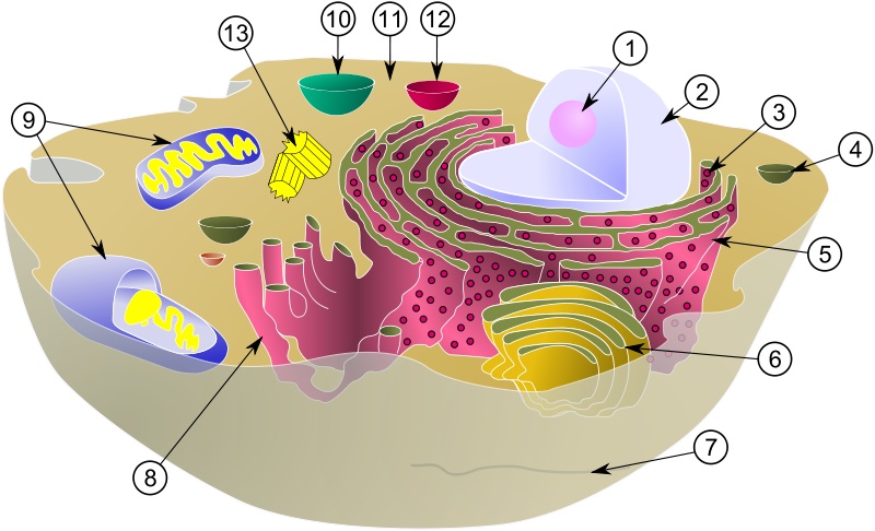 Schematic of typical animal cell depicting the various organelles ...