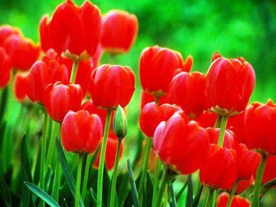 Bunga Tercantik Di Dunia Tulip Merah Bunga Tulip Bunga Menanam