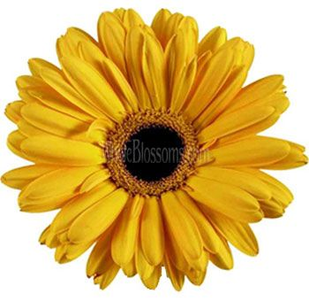 Yellow Gerbera Flowers Dark Center Yellow Wedding Flowers Gerbera Daisy Spray Roses