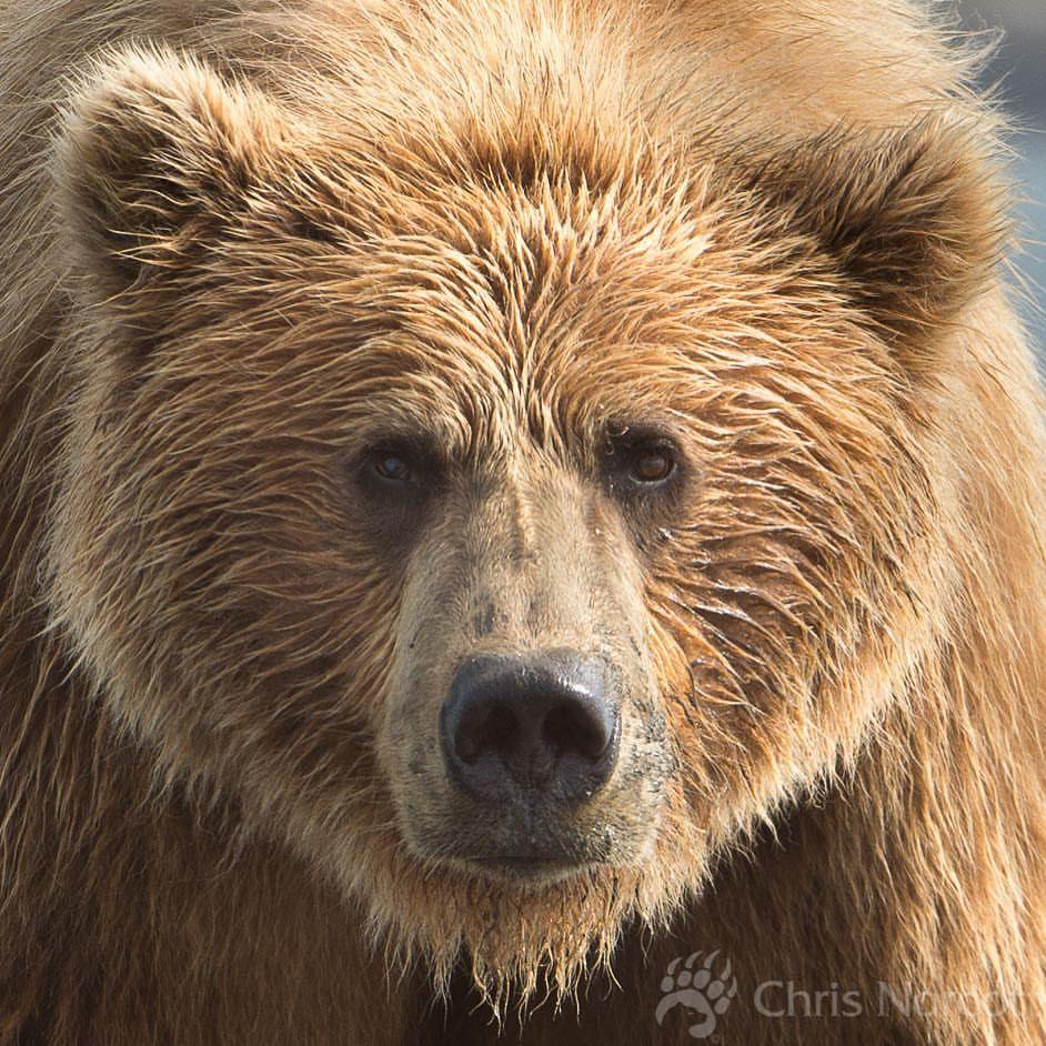 "261 Likes, 14 Comments - Chris Norcott Photography (@chrisnorcott) on Instagram: ""Coastal brown bear. Alaska. #nature #wildernessculture #alaska #grizzly #natgeotravel #nanpapix…"""