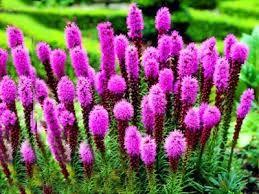 Znalezione Obrazy Dla Zapytania Kwiaty Ogrodowe Kwitnace Cale Lato Bulb Flowers Blazing Star Flower Longfield Gardens