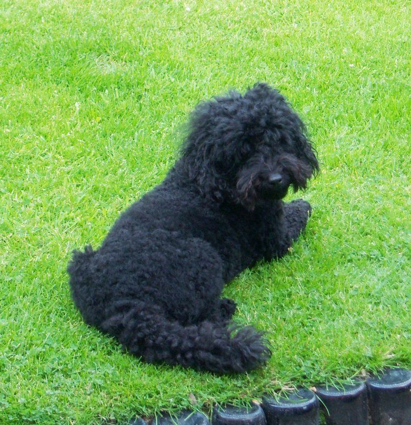 Pin By Silvana Briers On Zuzu My Toy Poodle Toy Poodle Poodle