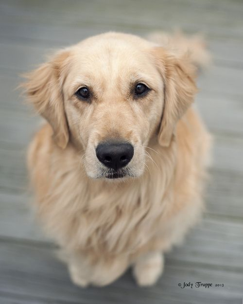 Hey Tiger By Dog Ma Pet Dogs Puppies Dogs Golden Retriever