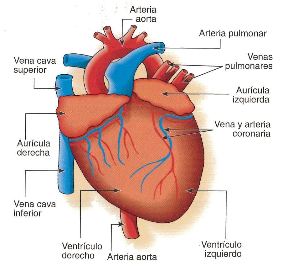 Todas Las Partes Del Corazon | ... Gacía.: Atículo 16. Anatomía ...