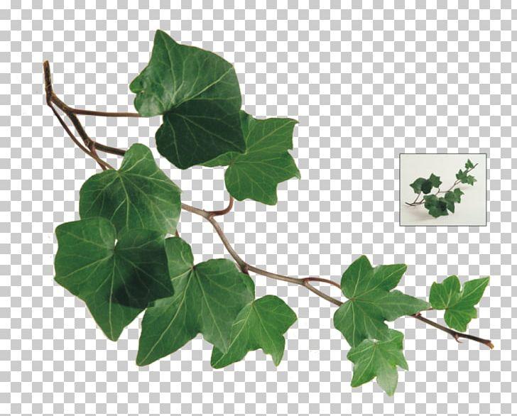 Galazka Lisci Bluszczu Galazka Winorosli Png Clipart Araliowate Galaz Bluszcz Pospolity Doniczka Ziola Bezplatne Png Pobie Ivy Leaf Common Ivy Ivy Plants