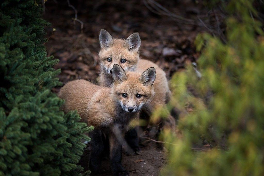 Fox Baby Predator Animals Wallpaper