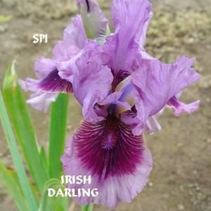 Intermediate Bearded Iris Iris Irish Darling In The Irises Database All Things Plants Bearded Iris Amazing Flowers Iris