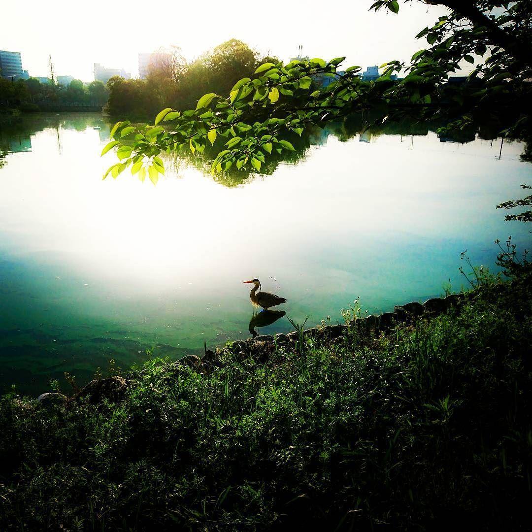 walk_around  #morning  #pond  #heron walk_around  #morning  #pond  #heron