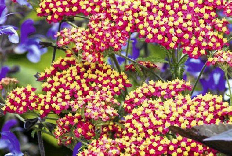 Krwawnik Pospolity Garden Plants Red Peppercorn