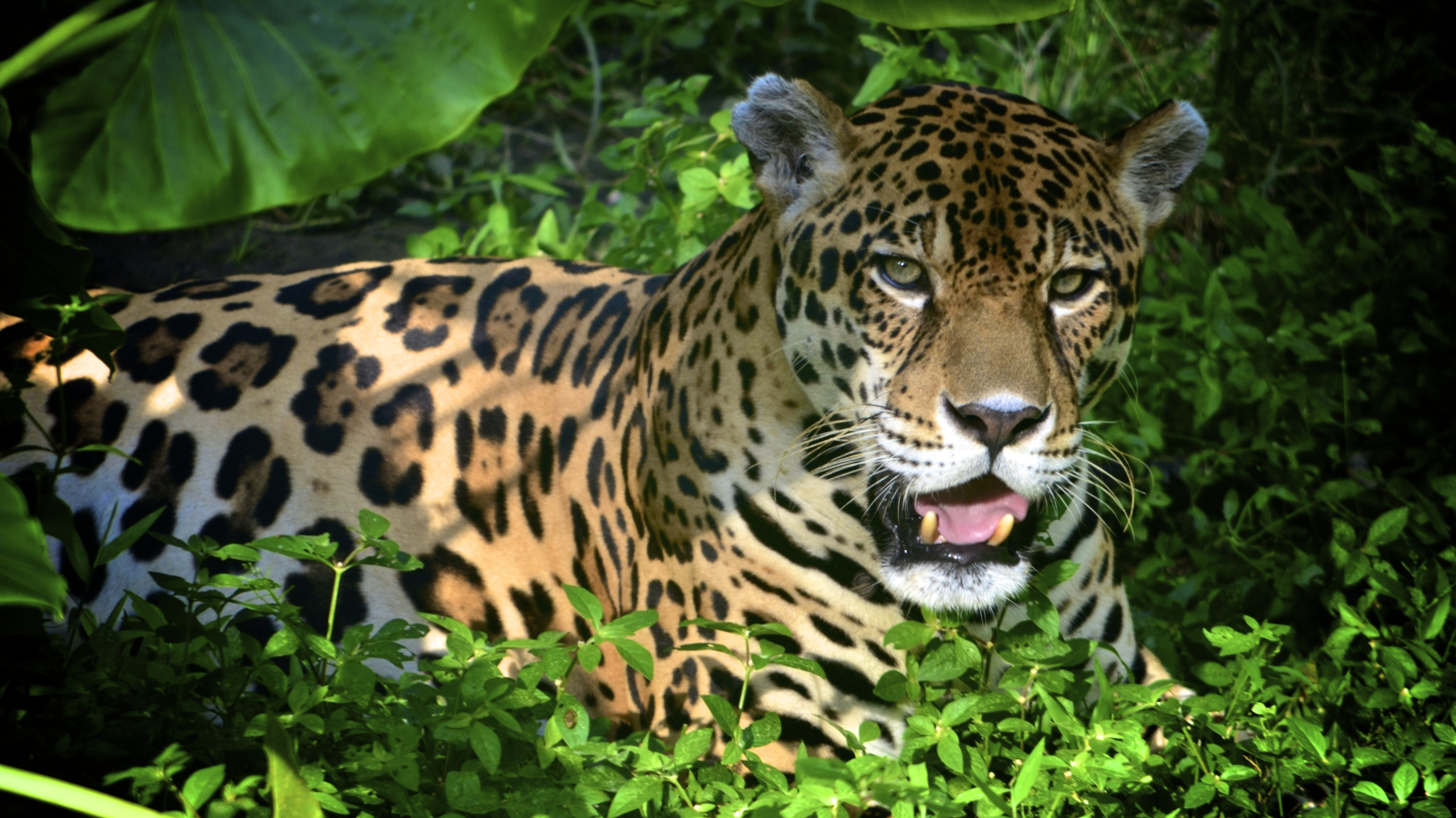 Jaguar In The Amazon Rainforest Amazon Forest Amazon Rainforest Rainforest