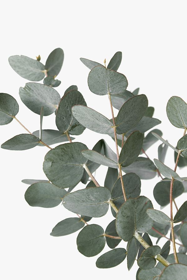 Eucalyptus Print, Artwork, Large Wall Art,Print, Botanical Print, Botanical Wall Art, Eucalyptus Leaves, Plant Print, Wall Art, Art Print