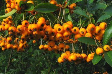 Ildtorn 'Soleil d'Or'  Pyracantha coccinea 'Soleil d'Or' (dansk navn: ildtorn 'Soleil d'Or') er en plante, der kan bruges både som klatreplante og hækplante. Ildtorn 'Soleil d'Or' blomstrer rigt med flotte, hvide blomsterskærme i maj og juni måned, efterfulgt af dybgule bær i efteråret.