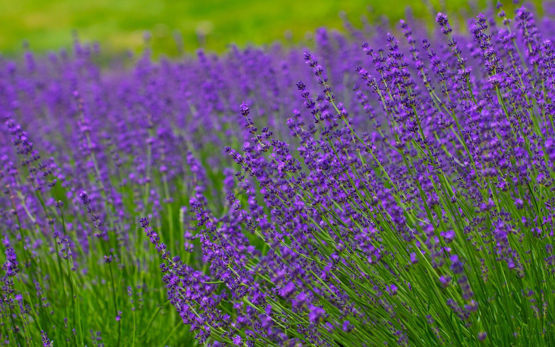 lavender field hd desktop - photo #14
