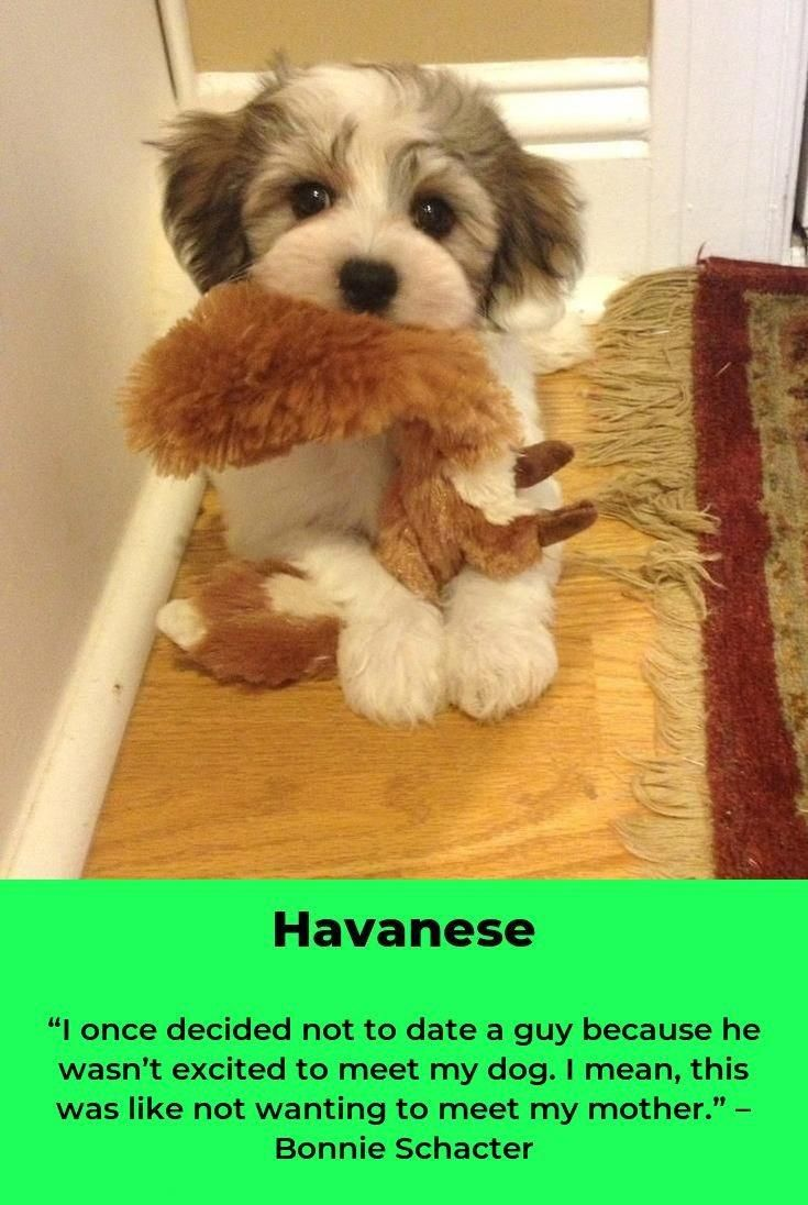 Discover The Smart Havanese Puppies And Kids havaneserliebe