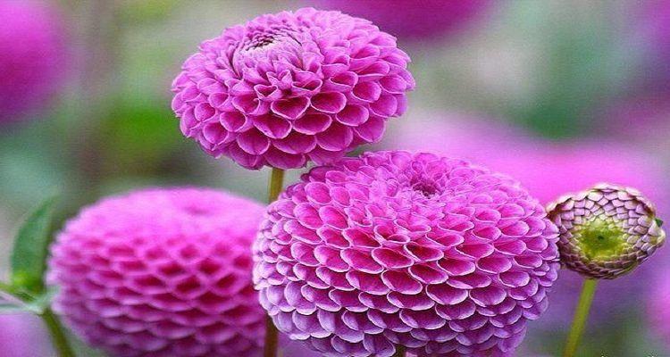 7 Bunga Tercantik Di Dunia Yang Memikat Hati Akyasweb Bunga Bunga Indah Bunga Dahlia Bunga Cantik