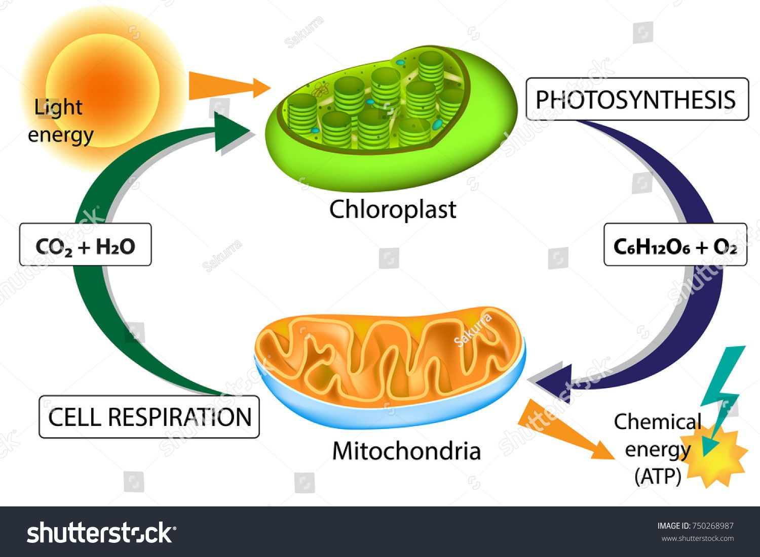 Photosynthesis and Cellular Respiration. Chloroplast and