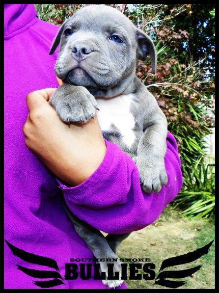 pit bulls puppies - Google Search