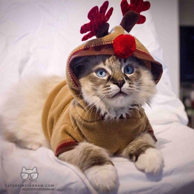 Cats Of Instagram Daily Doses Of Original Cute Cat Photos Christmas Cats Pet Halloween Costumes Christmas Kitten