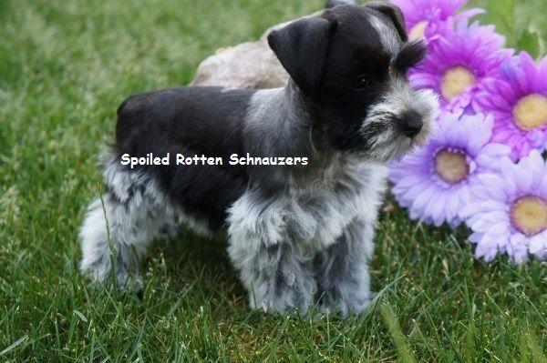 Teacup Puppies Toy Schnauzers Teacup Schnauzer Puppies For Sale Schnauzer Puppy Teacup Puppies Puppies