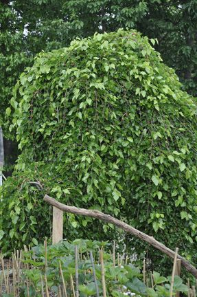 Dwarf Weeping Mulberry Self Fruiting Makes A Great
