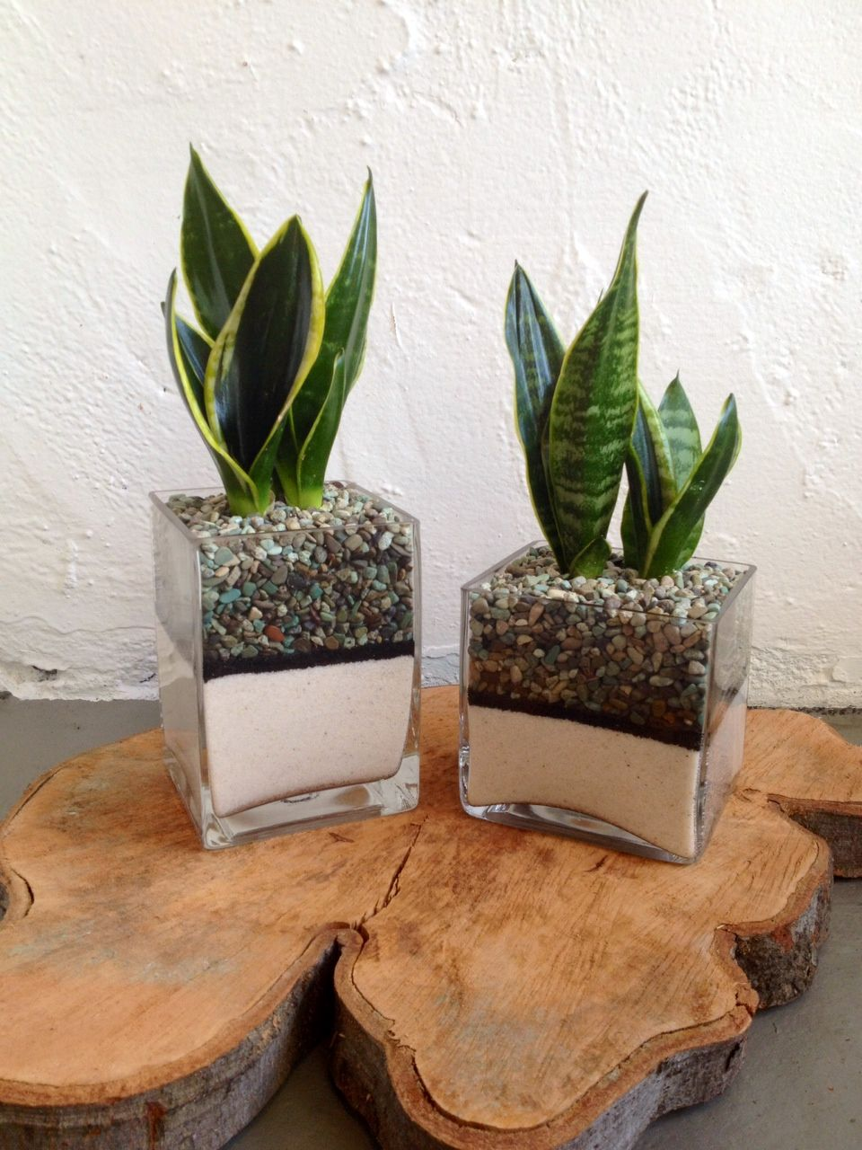 Sansevieria in glass with pebbles and sand on a wood burl
