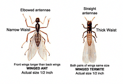 Know The Difference Between An Ant And A Termite Termiteprevention Termite Control Termites Termite Treatment
