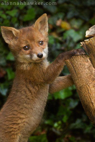 Pin Von Archiebaer Auf Fuchs Fennek Wilde Tiere Rotfuchs Tiere