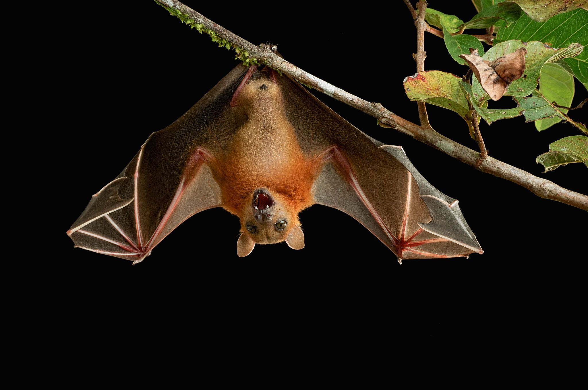 Mystery Solved How Bats Can Land Upside Down コウモリ ボルネオ島 動物学