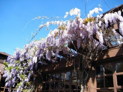 Wisteria With No Leaves Reasons Why A Wisteria Is Not Leafing Out Wisteria Plant Garden Vines Wisteria