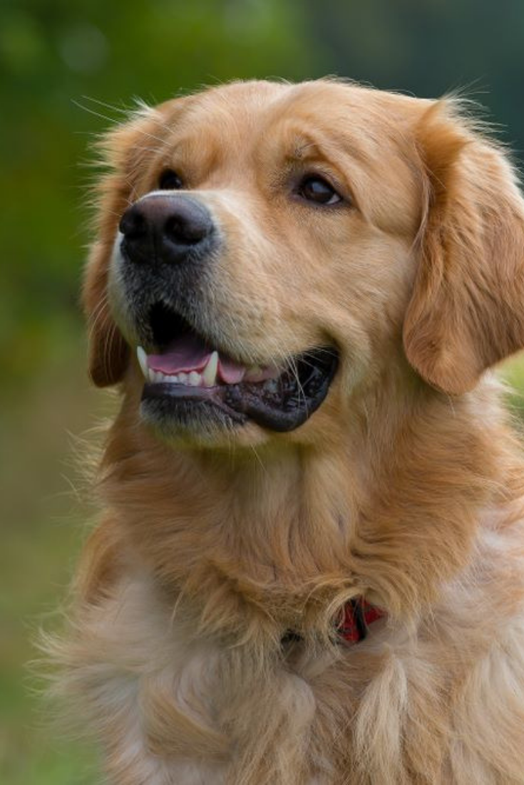 Portrait Of A Purebred Golden Retriever Outside In Nature Mouth Open Smiling Friendly Halfprofile Picture In 2020 Golden Retriever Purebred Golden Retriever Doggy