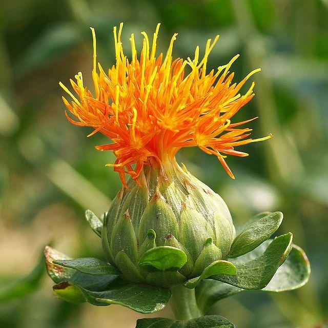 A Safflower Flower Carthamus Tinctorius A Thistle Plants Flower Identification Bonsai Seeds