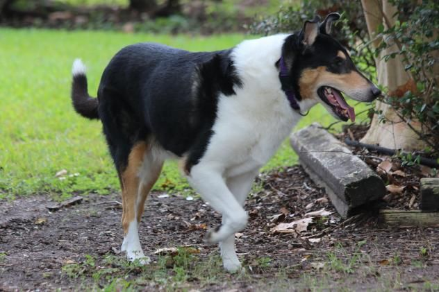 Adopt Carmelo On Collie Dog Collie Rescue Animals