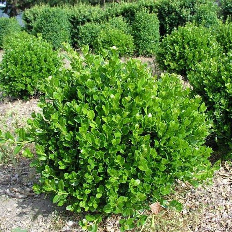 Buxus 'Faulkner' Japanese boxSmall evergreen shrub with