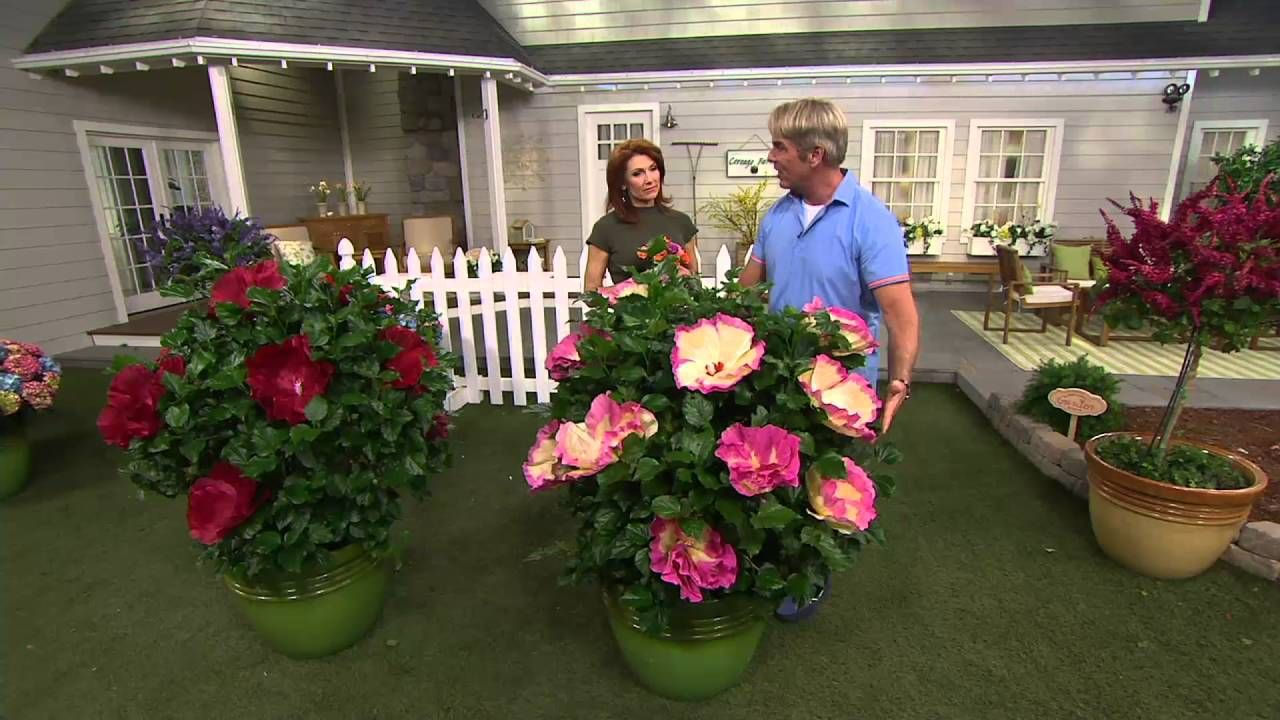 Cottage Farms Iconic Jumbo Hardy Hibiscus Duo On Qvc Hardy