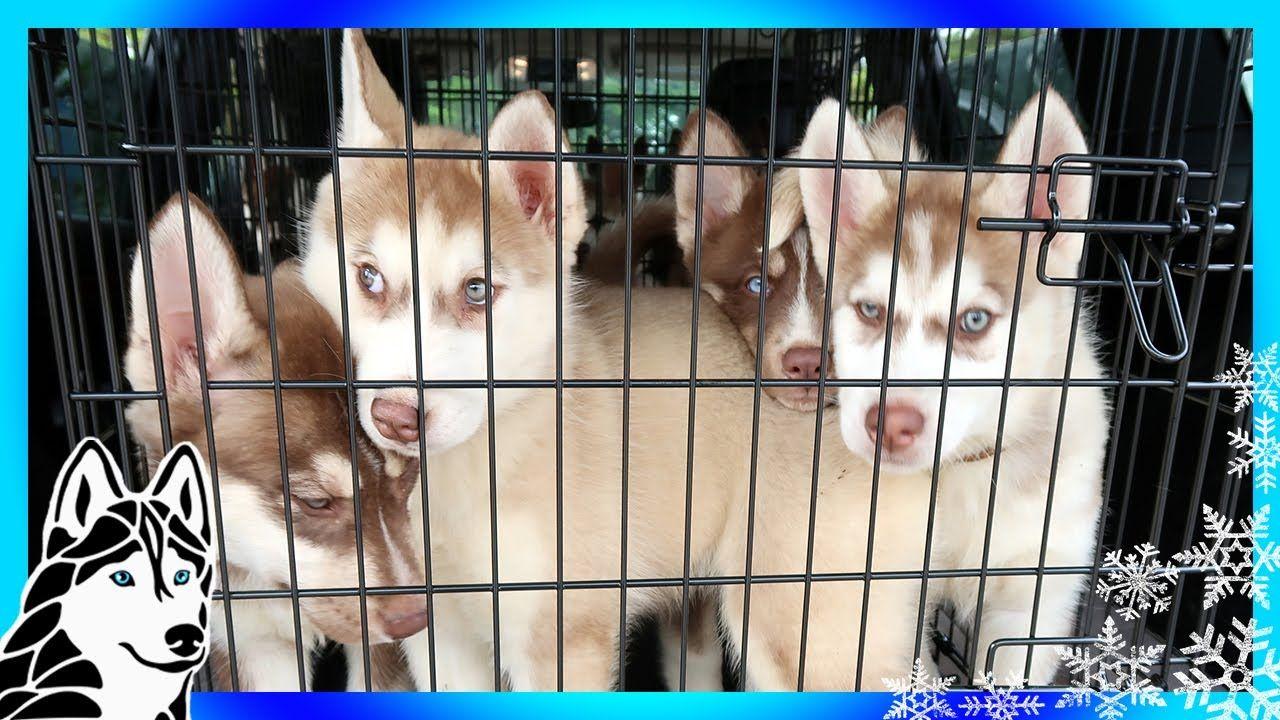 Siberian Husky Puppies So Many Puppies Help Us Help Huskies
