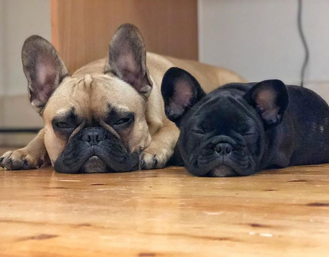How I Prepare For Disasters With My French Bulldog