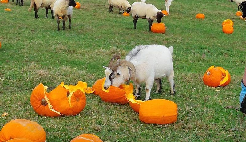 Have Leftover Pumpkins? Use Them For Livestock Feed (With