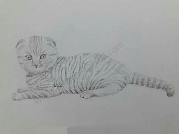 How To Draw A Scottish Fold Cat With Images Cat Scottish Fold