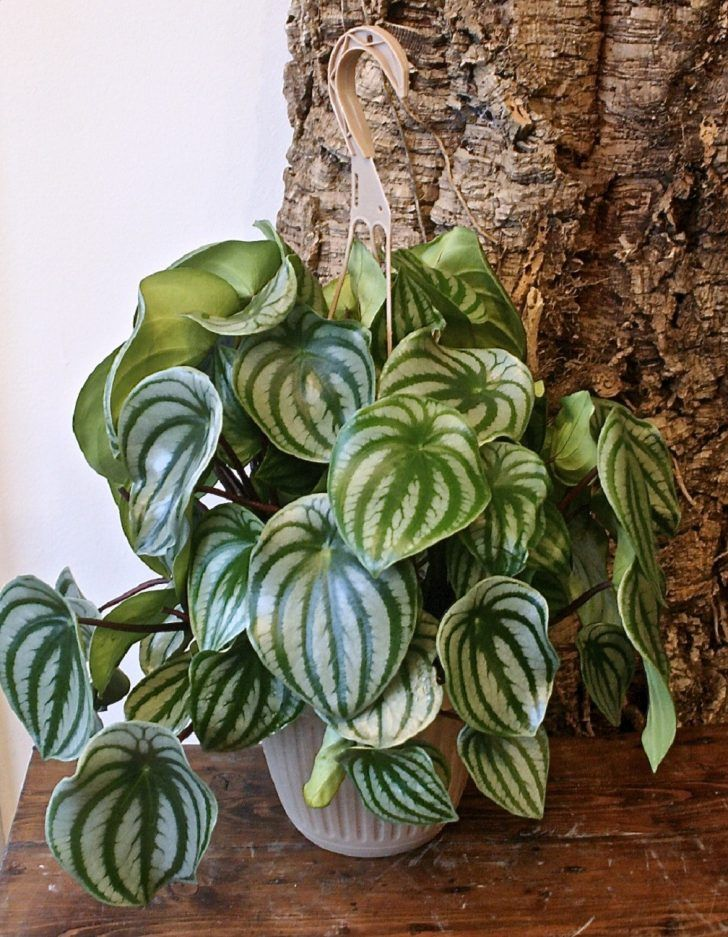 Small Striking Adorable Houseplant Peperomia Radiator