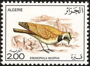Temminck's Horned Lark (Eremophila bilopha)