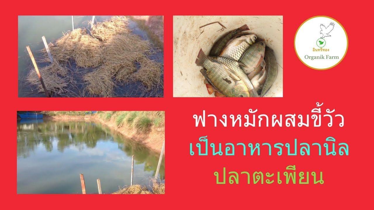 ทำฟางสล บข ว วเป นอาหารปลาน ล ปลาตะเพ ยน ปลาก นพ ช