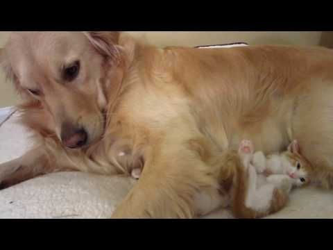 852 two funny kittens rolling around crawling under dog s leg