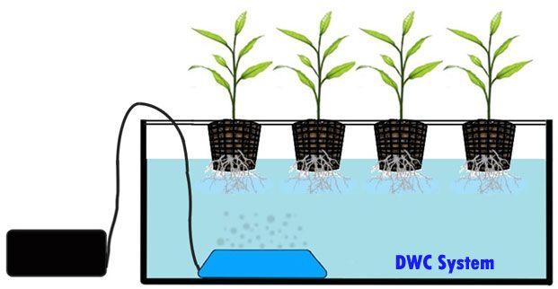 Deep Water Culture Technique