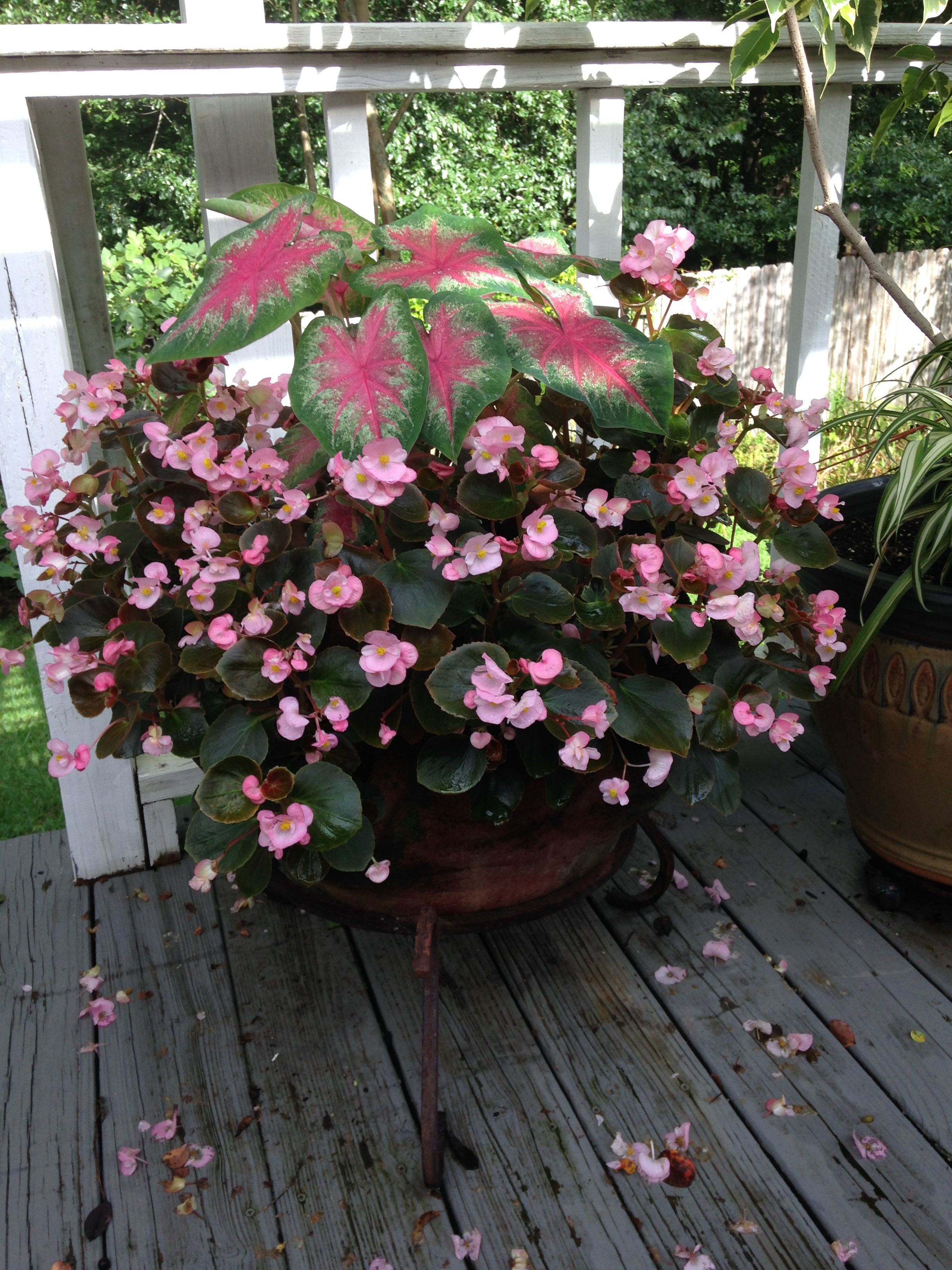 Strawberry Pot Planted With Caladiums And Begonias Potted Plants Patio Ideas Plants Potted Plants Patio