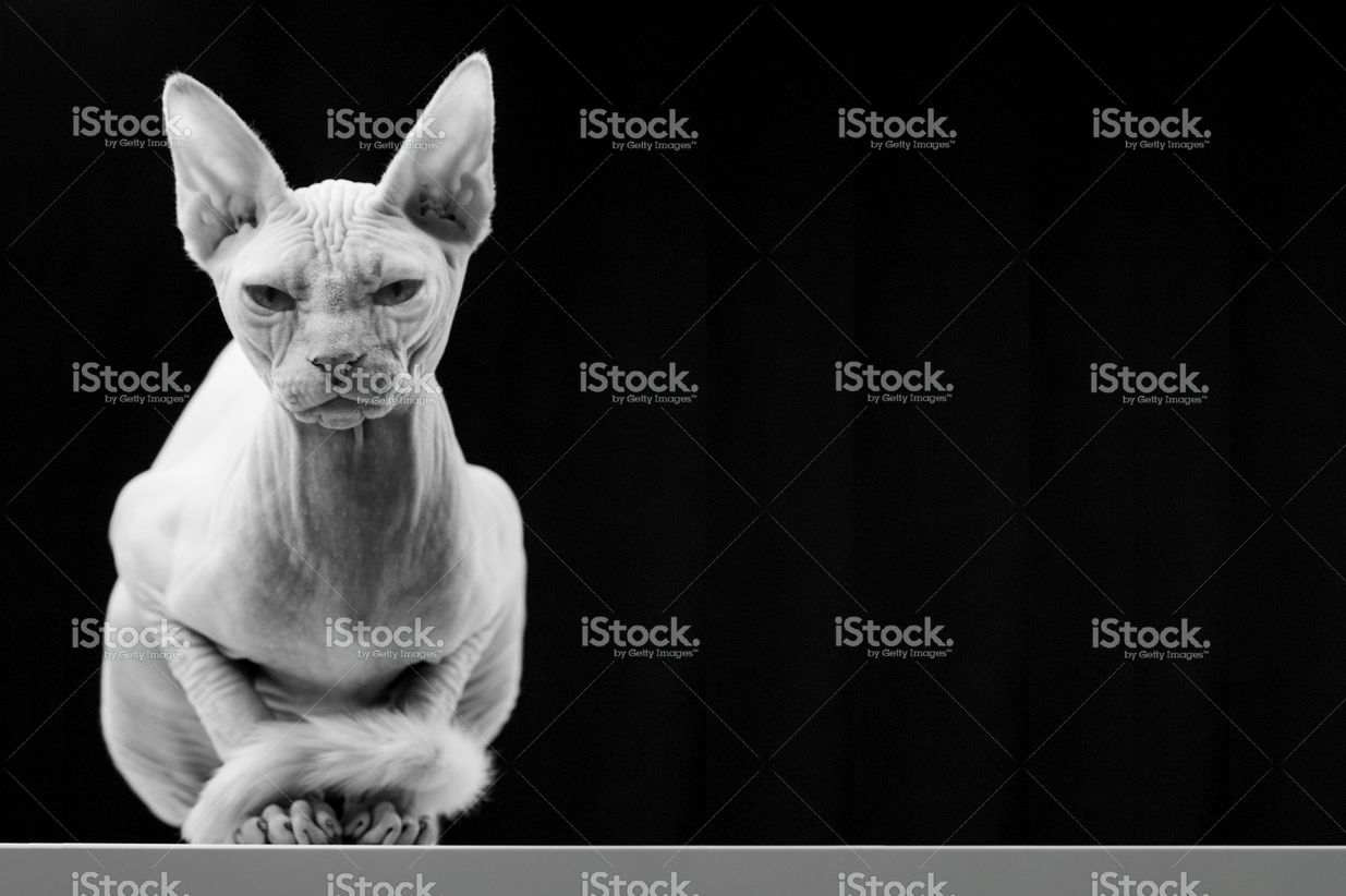Two Year Old Canadian Sphinx Cat In 2020 Hairless Cat Sphinx Cat Cat Stock