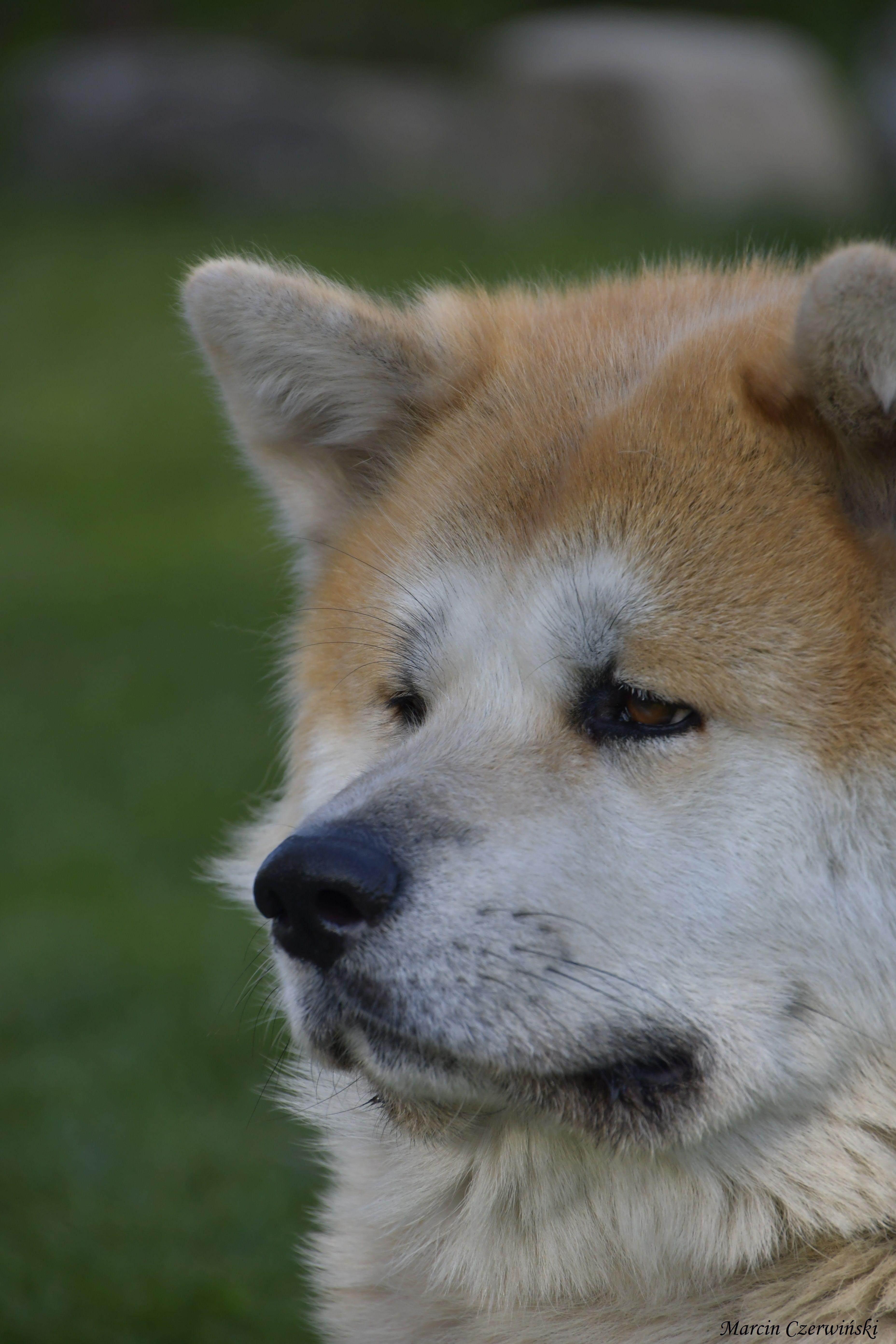 「Akita」おしゃれまとめの人気アイデア|Pinterest |Czerwo 秋田犬、動物、犬