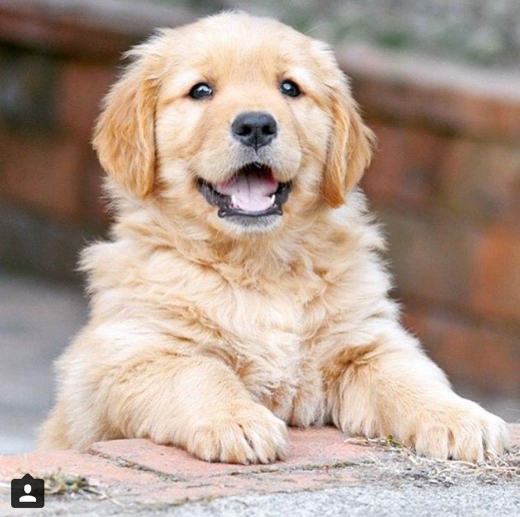 Golden Retriever Puppy Retriever Puppy Dogs Golden Retriever