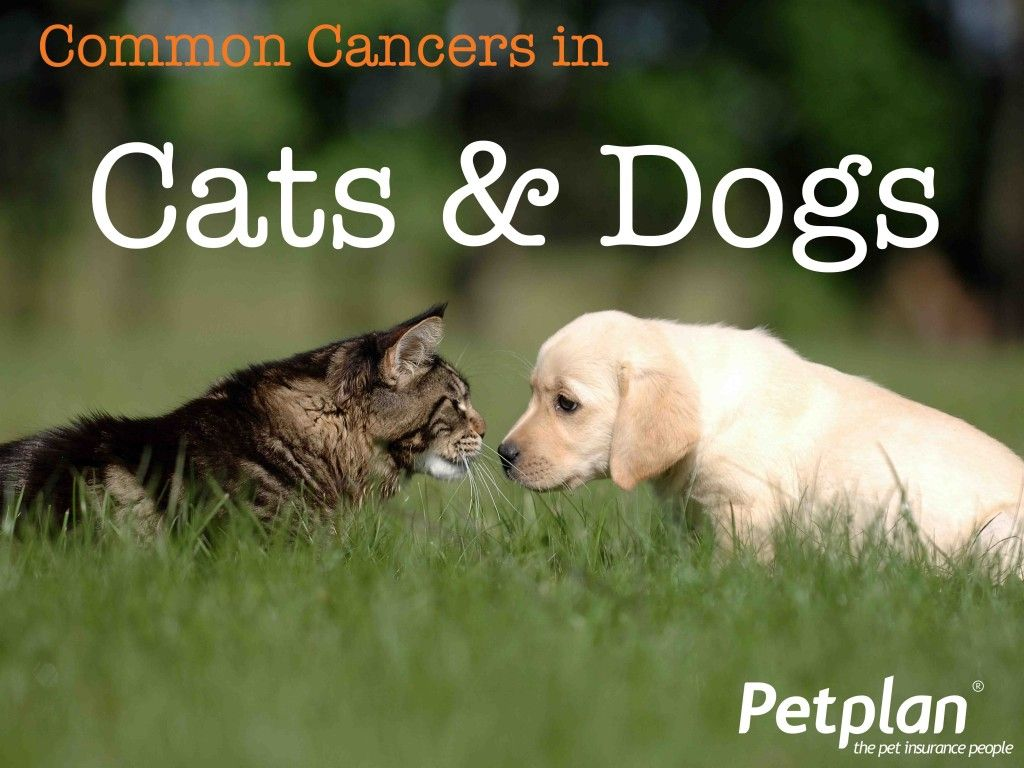 Common cancers in cats dogs petplan blog introducing