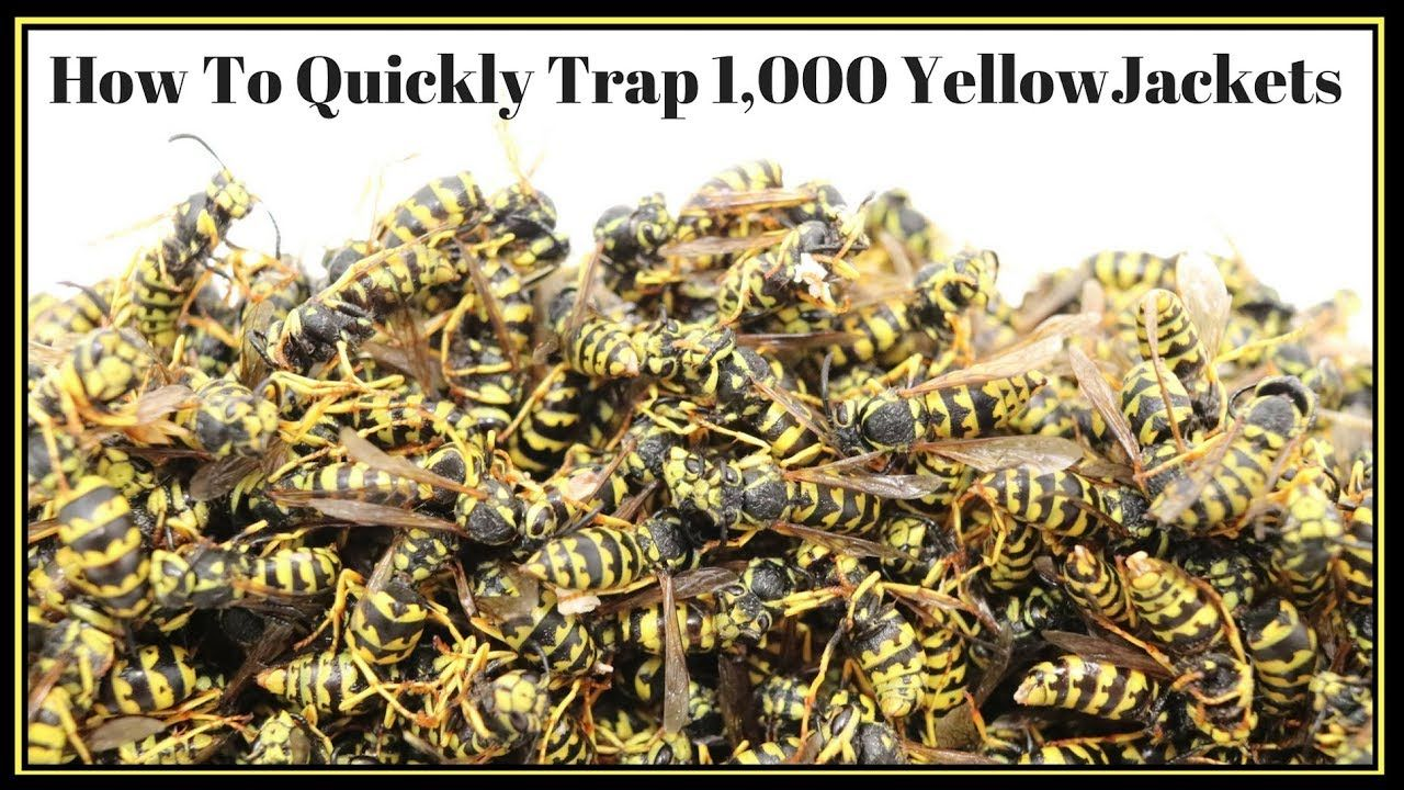 How To Quickly Trap 1 000 Yellowjackets In Just Hours Mousetrap Monday Pest Control Flea Prevention Garden Pests