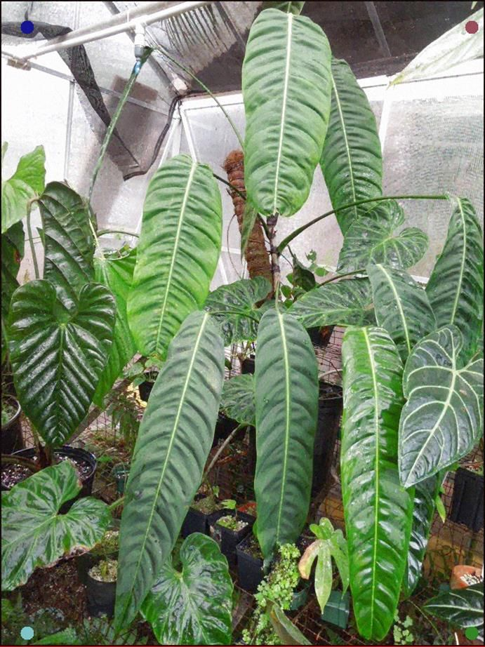 Philodendron patriciae, from NSE Tropicalsphilodendrons